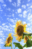 Blue sky and sunflowers in the field — Stock Photo