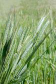 Ear of green wheat — Stock Photo