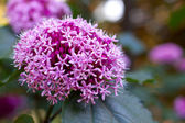 Clerodendrum bungei — Stock Photo