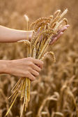 Hands and ripe wheat ears — Foto Stock
