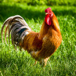Cock striding through green grass — Stock Photo