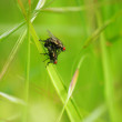 Flies in love - Lizenzfreies Foto
