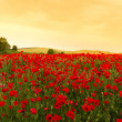 Stock Photo: Field of Poppies at sunset