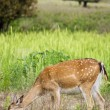 Fawn in the grass — Stock Photo #11062052