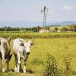 Cows in Maremma Tuscany landscape — Stock Photo #11062724