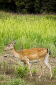 Fawn in the grass — Stock Photo
