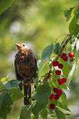 Blackbird eats cherries — Stock Photo