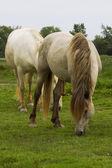 Camargue horses — Stock Photo