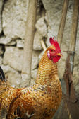Rooster in the yard — Stock Photo