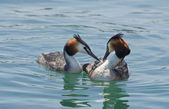 Crested grebes — Stock Photo