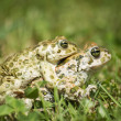 Frogs in love — Stock Photo