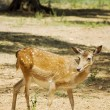 Pregnant female deer — Stock Photo