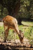 Veado fêmea grávido — Foto Stock