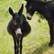 Donkeys in love — Stock Photo