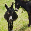 Stock Photo: Donkeys in love