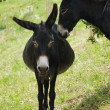 Stock Photo: Pregnant female donkey