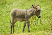 Little donkey — Stock Photo