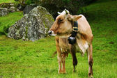 放牧牛 — ストック写真