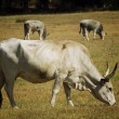 Cows in Maremma — Stock Photo
