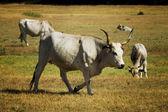 Le pays des vaches — Photo