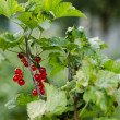 Stock Photo: Bunch of redcurrant