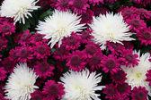 紫と白の菊 — ストック写真