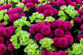 Purple and green chrysanthemum — Stock Photo