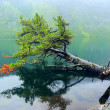 Coniferous trees on the lake — Stock Photo