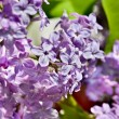 Stock Photo: Lilac bushes