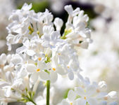 Lilac bushes — Stock Photo