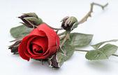 Einzelne rose mit vier knospen — Stockfoto