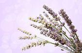 Lavender flowers bokeh — Stock Photo