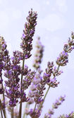 Lavender flower bunch — Stock Photo