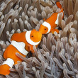 Постер, плакат: Two Clown Anemonefish
