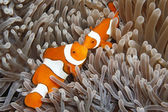 Two Clown Anemonefish — Stock Photo