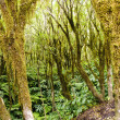 Azorean Forest - Stock Photo