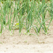 Young onion in field — Stockfoto