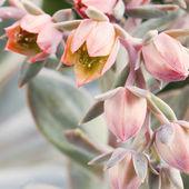 Closeup of Sempervivum flower — Stock Photo