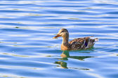 Mallard duck on the lake — Stockfoto