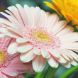 Daisy flower background — Stock Photo #11645158