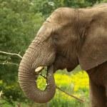 Elephant eating — Stock Photo #10998709
