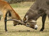 Gacelas luchando — Foto de Stock