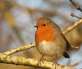 Robin na árvore — Fotografia Stock