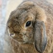 Rabbit lop eared — Stock Photo