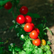 Red tomatoes in hothouse — Stock Photo