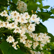 The branches of a flowering tree — Stock Photo