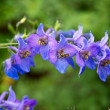 Stock Photo: Branch of blue flowers
