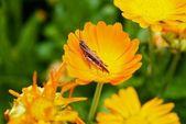 花のバッタ — ストック写真