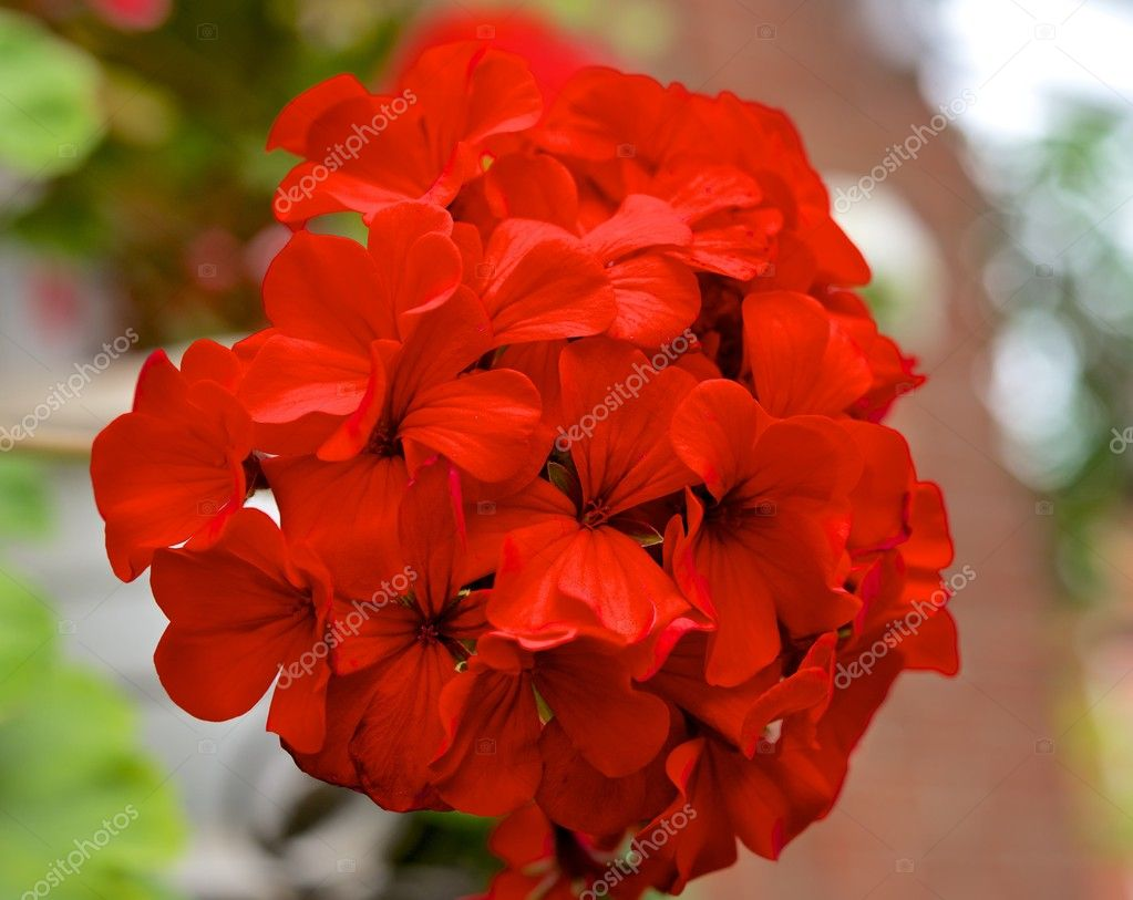 The inflorescence of red geraniums startling in its bright color and beauty. — Stock Photo #11341448