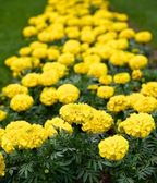 Yellow flowers. — Stock Photo